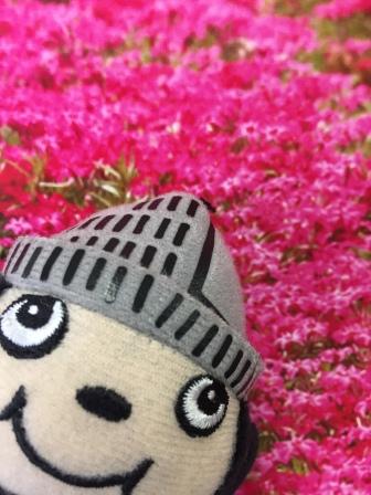 ぶんちゃん芝桜